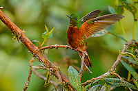 Chestnut-Breasted Coronet Hummingbird [Boissonneaua matthewsii] male; perched, Cabanas San Isidro, Ecuador