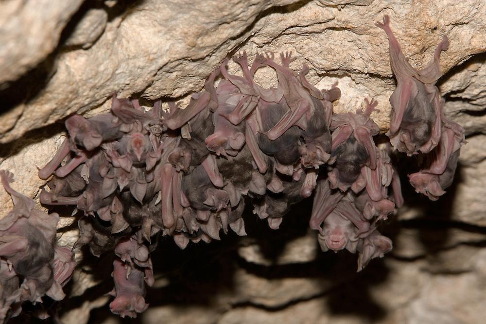 Juvenile Mehely Horseshoe bat (Rhinolophus mehelyi) in a cave, Junge Mehely-Hufeisennase, near Nikopol, Bulgaria