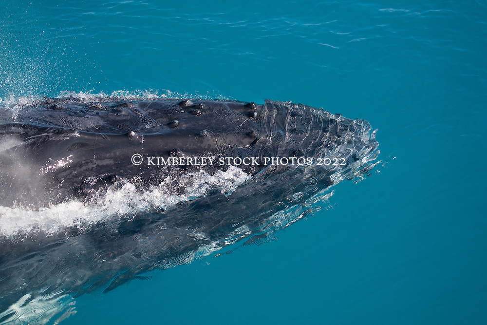 A humpback whale surfaces next to a charter boat in Camden Sound