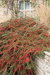 Cotoneaster horizontalis growing against a low wall, showing autumn berries. Wall spray, Rock spray