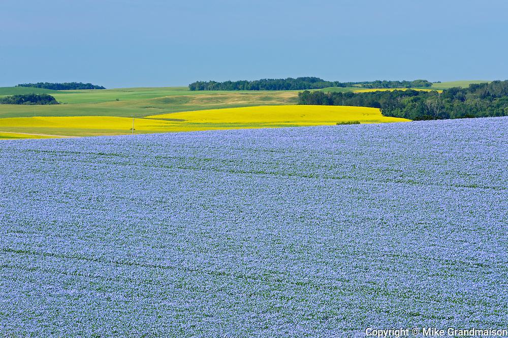 Flax crop <br /> Pembina Hills<br /> Manitoba<br /> Canada