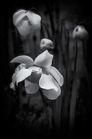 The spring bloom of the Hooded Pitcher Plant in black and white.