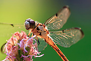 Dragonflies, sometimes known as mosquito hawks, can eat hundreds of mosquitoes in one day.  They have six  legs like other insects but are unable to walk. Dragonflies have been around for the past 280 million years making them one of the most ancient insects.