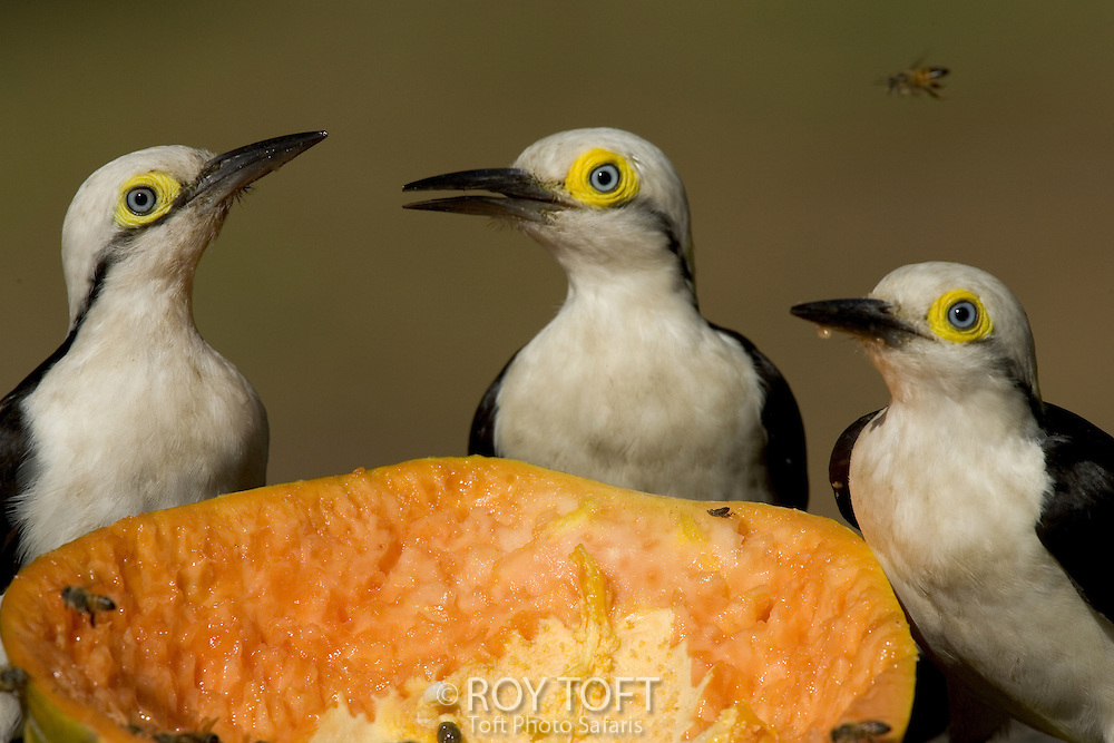 White woodpeckers (Melanerpes candidus) sit around a fruit with bees.