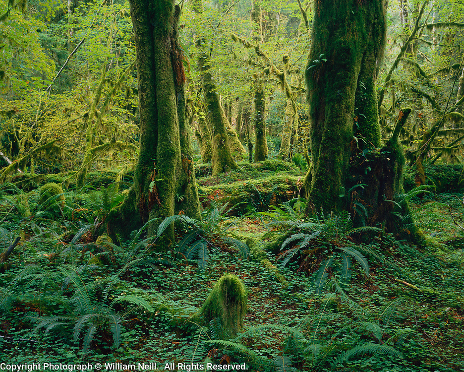 Vine Maples, sword ferns, sorrel, Temperate rainforest, Queets River Valley, Olympic National Park, Washington