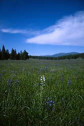 &quot;Camas Field&quot;- This field of Camas flowers contained one odd white Camas flower. It was photographed near Prosser Reservoir, CA.<br />