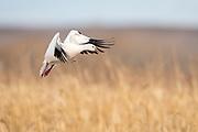 Ross's Goose, Chen rossii, Bosque del Apache NWR, New Mexico