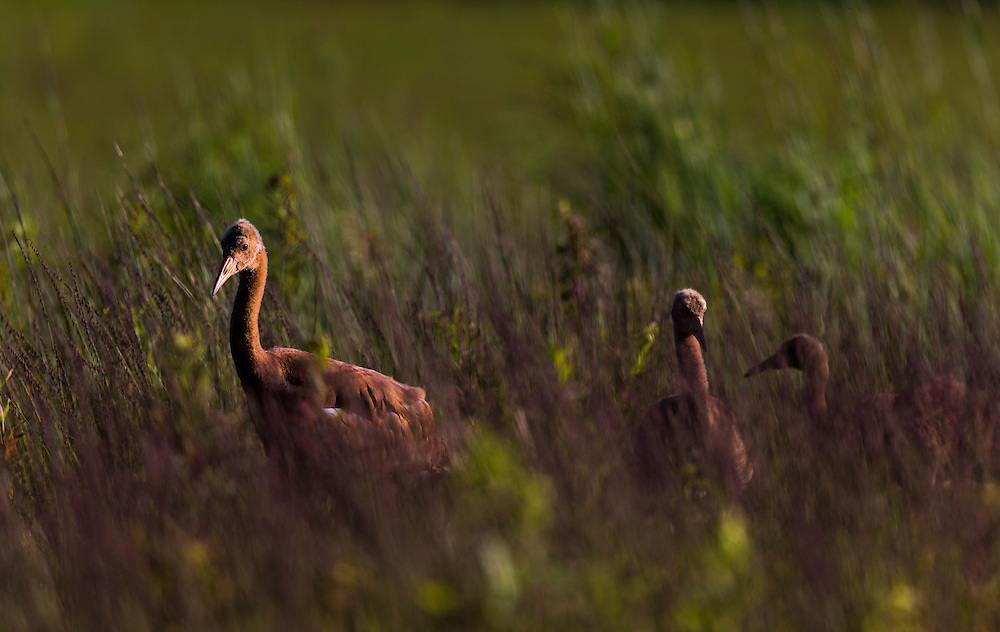 As the Whooping Cranes grow they take longer walks and learn to feed themselves and become more independent.