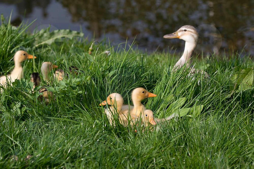 Nederland Berkel en Rodenrijs 15 april 2011 20110415 Voorjaar, piepjonge kuikentjes liggen in het gras in het zonnetje. Moeder eend houdt een oogje in het zeil op de achtergrond, beschermen waken over. Foto: David Rozing