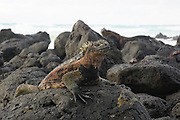 Marine iguana (Amblyrhynchus cristatus). This is the only truly marine lizard and is also known as the sea or Darwin's lizard. It spends much of its time feeding on seaweed underwater. Due to the coldness of the waters it inhabits, it basks in the sun to raise its body temperature. The marine iguana is only found along the rocky coastline of the Galapagos Islands. It formerly congregated in vast colonies, but its numbers have declined due to the unusually strong 1982-83 El Nino climate event and the impact of introduced predators such as rats and cats. Photographed on the Galapagos Islands, Ecuador.