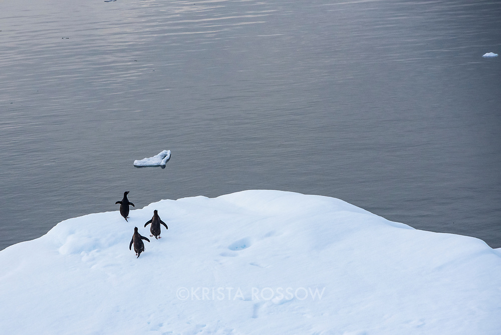 Two gentoo penguins and an Adelie penguin run on a piece of sea ice near the Lemaire Channel in Antarctica.