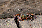 Unidentified land crab on a wooden deck