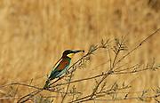 Israel, European Bee-eater, Merops apiaster Summer June 2008
