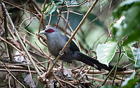 The green-billed malkoha (Phaenicophaeus tristis) is a species of non-parasitic cuckoo found throughout Indian Subcontinent and Southeast Asia. The birds are waxy bluish black with a long graduated tail with white tips to the tail feathers. The bill is prominent and curved.