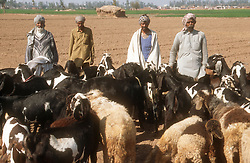 Group of four men in the Punjab tending a herd of goats,
