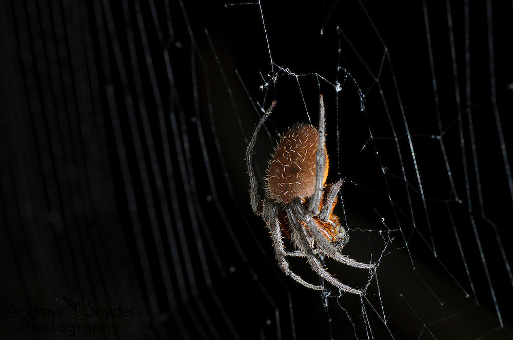 A female orbweaver (Eriophora sp.) waits for prey to come to its web.