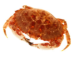 Jonah Crab, Cancer borealis, found in the Atlantic Ocean in Rye, New Hampshire.