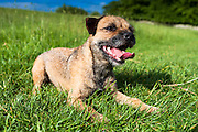 Border Terrier dog lying down puffed out and panting with tongue after chasing around, United Kingdom