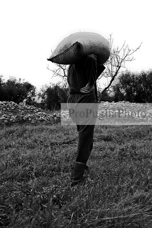01/12/2010 Acquaviva delle Fonti, trasporto a mano di sacchi pieni di olive....La raccolta delle olive e la produzione dell'olio extravergine sono un rituale che si protrae da moltissimo tempo in Puglia, questo avviene solitamente nel periodo che va da novembre a dicembre, mentre il lavoro di preparazione e coltivazione si svolge lungo tutto l'arco dell'anno..La raccolta è seguita nella maggior parte dei casi, quando le olive non vengono vendute all'ingrosso, dalla molitura presso gli oleifici per la produzione di quello che da queste parti viene chiamato anche oro verde..