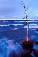 A LONE BIRCH STANDS ATOP A BOULDER AS LAKE SUPERIOR WAVES CRASH ON THE COASTLINE OF PRESQUE ISLE PARK IN MARQUETTE MICHIGAN AT DUSK.