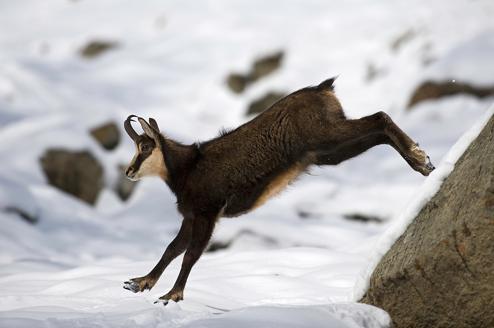 Chamois (Rupicapra rupicapra). Running..Gran Paradiso National Park, Italy,