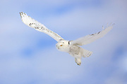 Snowy owl (Bubo scandiacus) in flight.