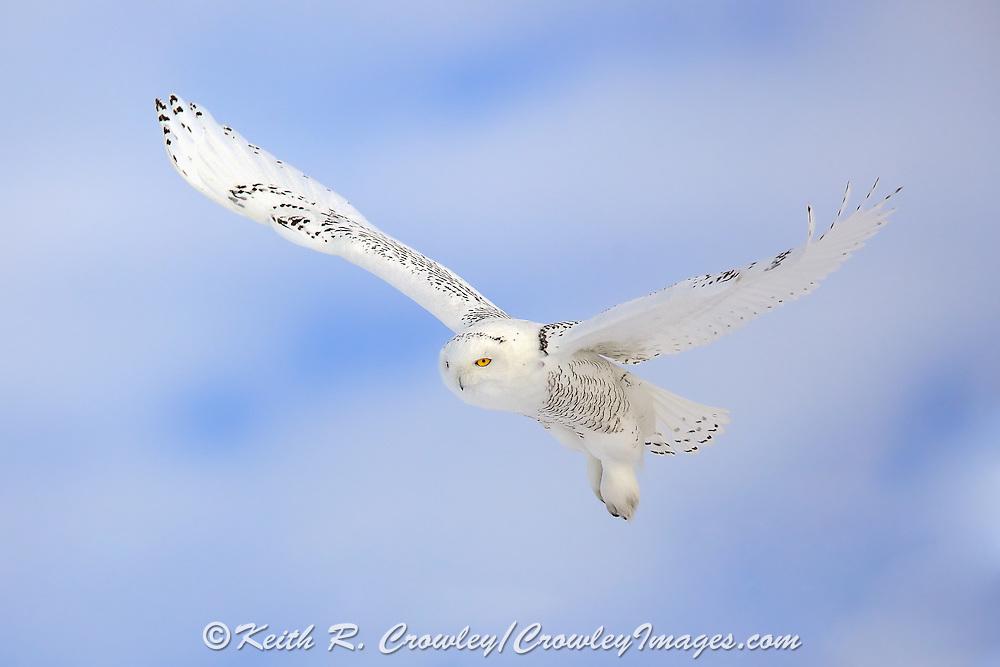 Snowy owl (Bubo scandiacus) in flight.
