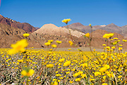 Death Valley wildflowers super bloom March 2016. Heavy rainfall has led to a once every decade or more massive bloom of desert wildflowers along the valley floor in the Badwater area of this usually dry and desolate landscape.