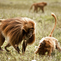Geladas fighting on the Guassa Plateau of Ethiopia