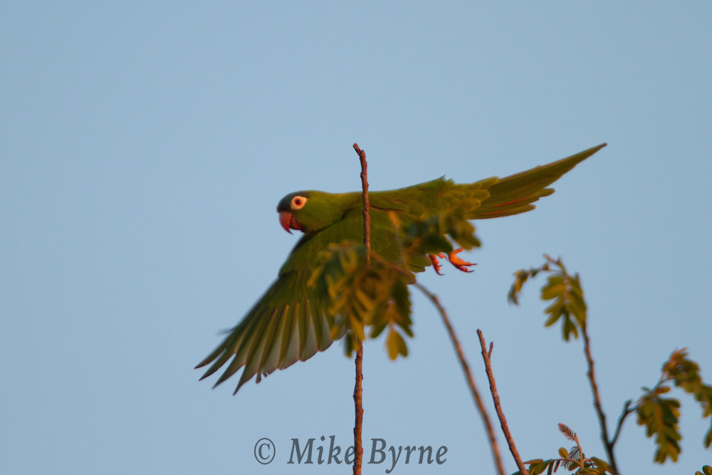 Monk Parakeets (Myiopsitta monachus) perched at treetop near Araras Eco Lodge (Mato Grosso, Brazil)