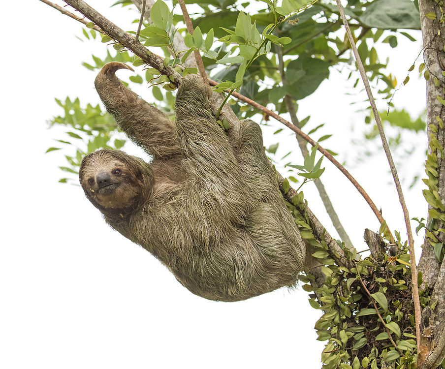 Male Juvenile Three-toed Sloth on Branch photographed in Costa Rica.