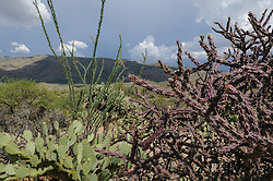 Staghorn Cholla, Cylindropuntia versicolor