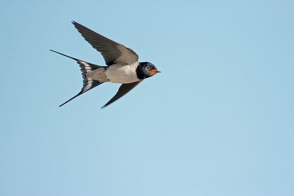 Swallow Hirundo rustica L 19cm. Recognised in flight by pointed wings and long tail streamers. Sexes are similar but male has longer tail streamers than female. Adult has blue-black upperparts and white underparts except for dark chest band and brick-red throat and forecrown. Juvenile is similar but has shorter tail streamers and buff throat. Voice Utters sharp vit call in flight; male sings twittering song, often from overhead wires near nest. Status Common and widespread in summer. Usually nests in villages and farmyards, half cup-shaped mud nest typically sited under eaves or in barn. Migrants congregate over freshwater and roost in reedbeds.