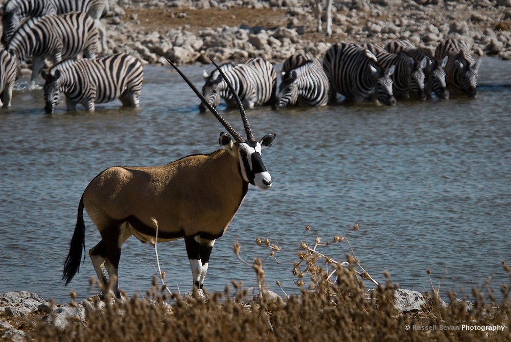 Oryx & Common Zebra at the Okaukuejo Waterhole in Etosha Nationl Park, Namibia