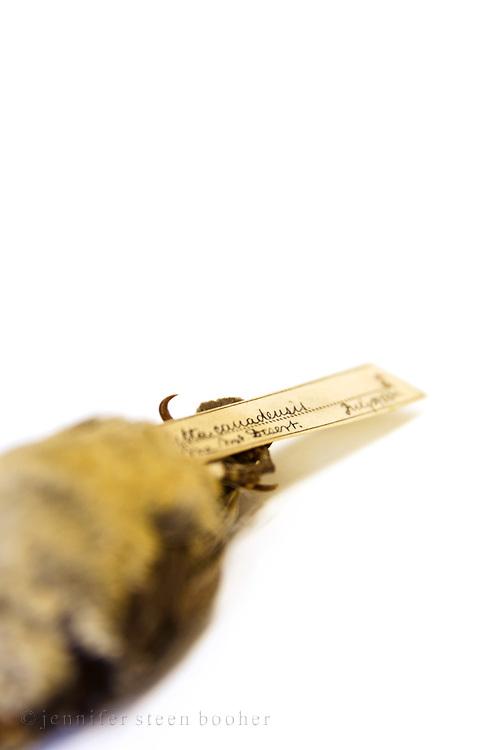 Spellman Bird Collection: Sitta canadensis, July 29, 1880.