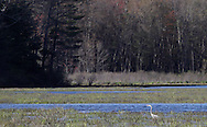 Mamakating, New York - A heron hunts for fish in the Bashakill Wildlife Management Area  on April 17, 2010.