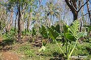 taro growing in plantation outside Hunga Village, Hunga Island, Vava'u, Kingdom of Tonga, South Pacific