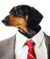 Dachshund head on businessman's body