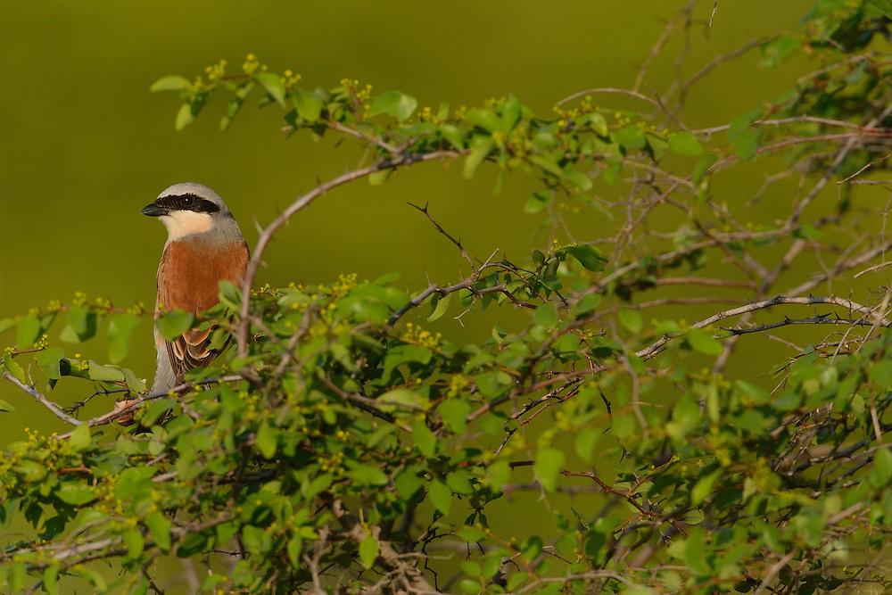 Red-backed shrike, Lanius collurio, Sakar mountains, Eastern Rhodope mountains, Bulgaria