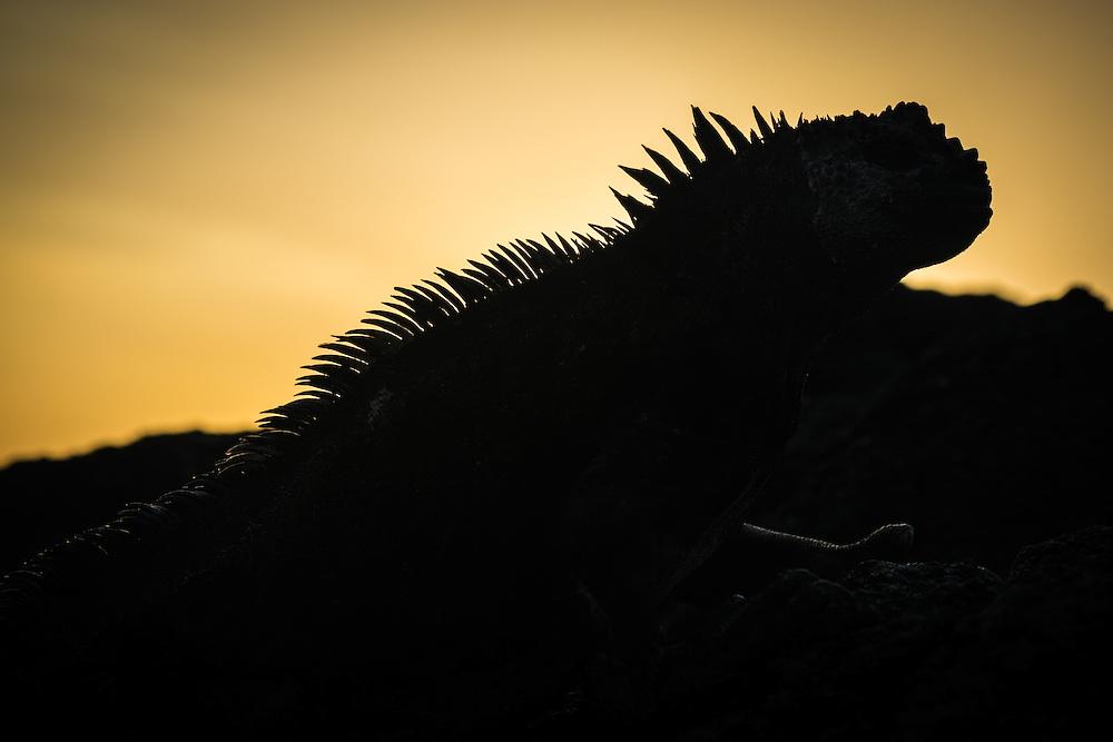 Silhouette of a marine iguana on a rock at sunset, Isla Isabela, Galapagos, Ecuador.