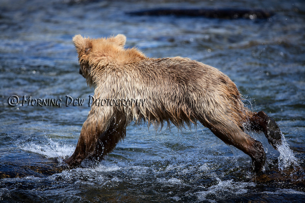 A yearling brown bear cub leaps across the rocks in the Riffles along Brooks River.