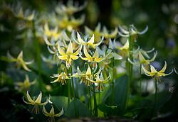Erythronium 'Joanna' AGM, Fawn lily.