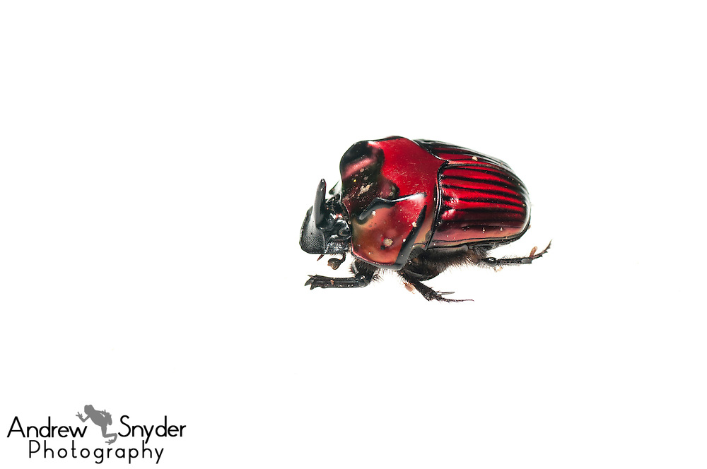 Dung beetle (Oxysternon festivum) -Chenapau, Guyana
