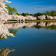 Some of the 3700 Cherry Blossom trees blooming in early spring around the Tidal Basin next to Washington's National Mall