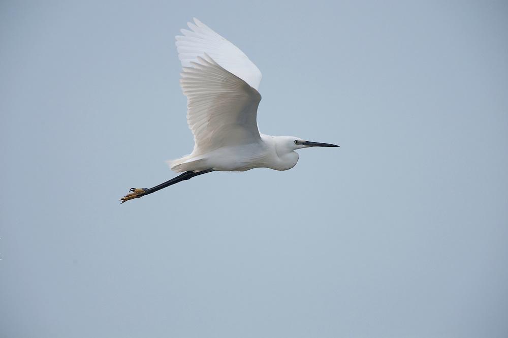 Little egret (Egretta garzetta) in lake in Moldova