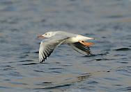 Slender-billed Gull - Larus genei - 1st summer