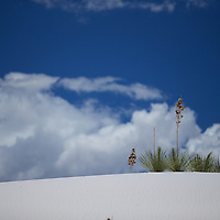 Life always finds a way: Yucca plants in the inhospitable and changing landscape of White Sands