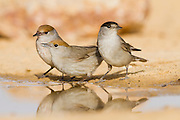 Eurasian Blackcap (Sylvia atricapilla) group near a water puddle, negev desert, israel