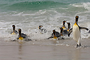 King Penguins (Aptenodytes p. patagonica) in surf.<br /> Volunteer Point, Johnson's Harbour, East Falkland Island. FALKLAND ISLANDS.<br /> RANGE: Circumpolar, breeding on Subantarctic Islands. Extensive colonies found in South Georgia, Marion, Crozet, Kerguelen and Macquarie Islands. The Falklands represent its most northerly range. They are highly gregarious which probably accounts for it common association with colonies of Gentoo Penguins.<br /> King Penguins are the largest and most colourful penguins found in the Falklands. They have a unique breeding cycle. The incubation of one egg lasts for 54-55 days and chick rearing 11-12 months. As the complete cycle takes more than one year a pair will generally only breed twice in three years.