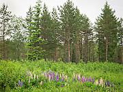 Sandlupin (Lupinus nootkatensis) eller jærlupin (Lupinus perennis), begge er nordamerikanske arter og svartelistet i Norge.